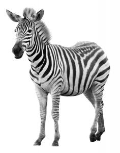 rgn-5487 2540x4000 zebras